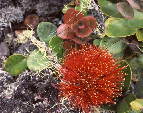 Five Species of Ohia Lehua