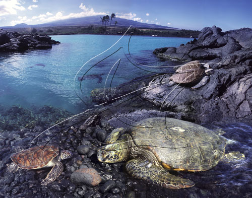 honu-at-kiholo-bay-collage.jpg