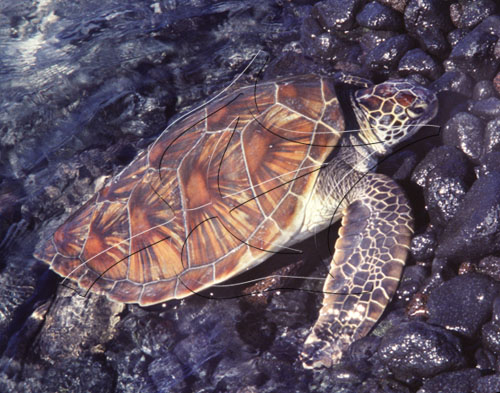 young-honu-at-kiholo-bay.jpg