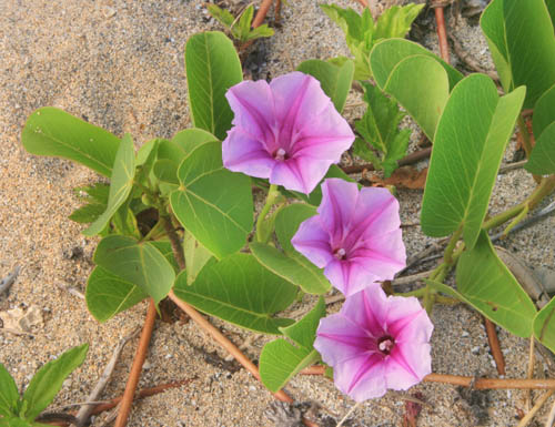 kahana-huilua-pohuehueflowers.jpg