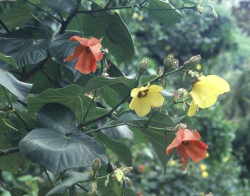 koloa-hau-yellow-red.jpg