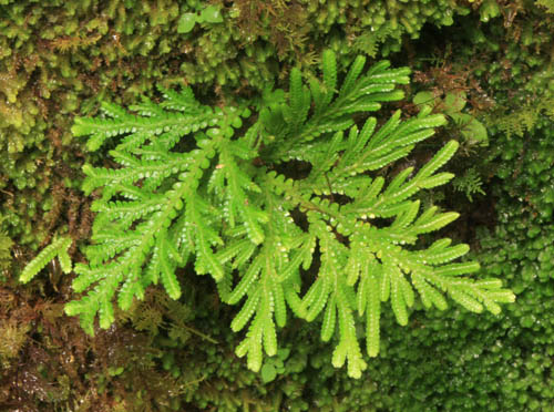 luaalaea-branched-spike-moss.jpg