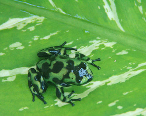 luaalaea-poison-arrow-tree-frog.jpg
