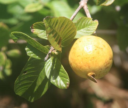 hanakapiai-hanakoa-guava.jpg