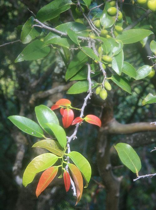 hanakapiai-hanakoa-lama-leavesfruit.jpg