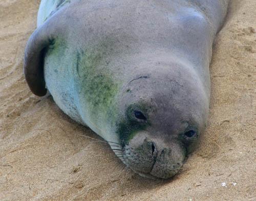 kee-beach-seal-closeup.jpg