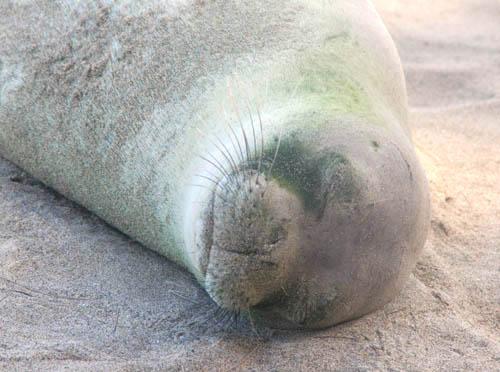 kee-beach-seal-napping.jpg