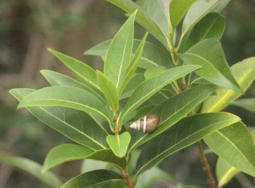 achatinella-snail-on-olopua-cropped.jpg