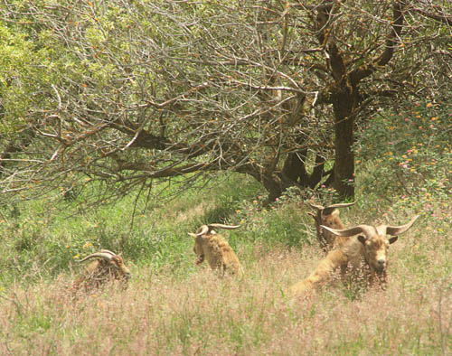 kamaileunu-goat-herd.jpg