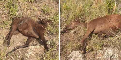 kamaileunu-ridge-dead-goats.jpg