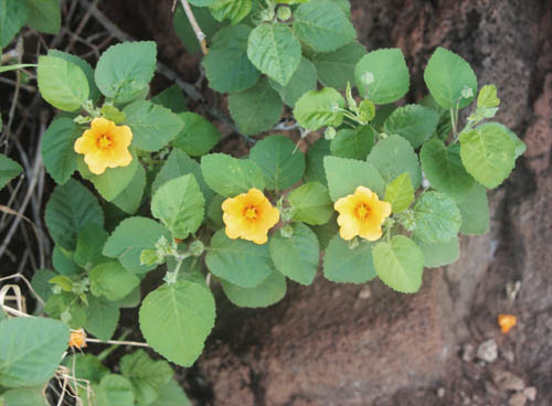 kamaileunu-ridge-ilimaflowers.jpg