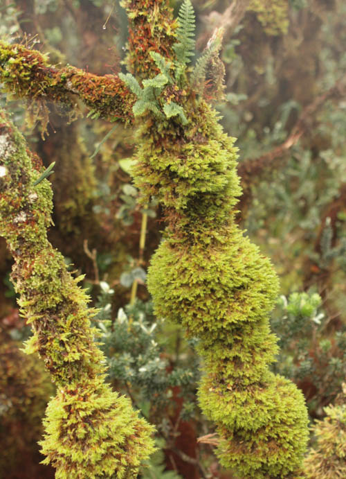 kaala-boardwalk-ohia-moss-mists.jpg