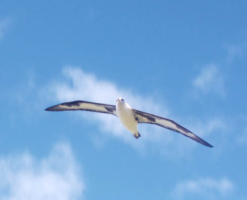 kaenapoint-albatross-flying-1.jpg