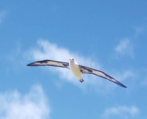 kaenapoint-albatross-flying-1.jpg