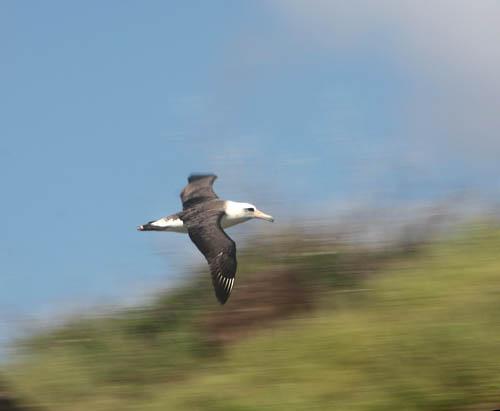 kaenapoint-albatross-flying-2-cropped.jpg