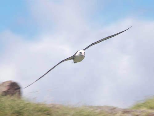 kaenapoint-albatross-flying-3-cropped.jpg