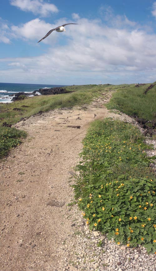 kaenapoint-albatross-flying-trail-ilima-merged.jpg