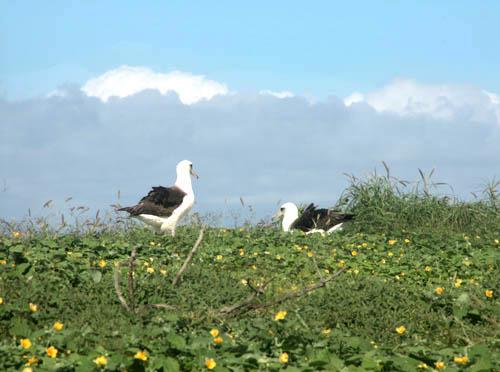 kaenapoint-albatross-pair.jpg