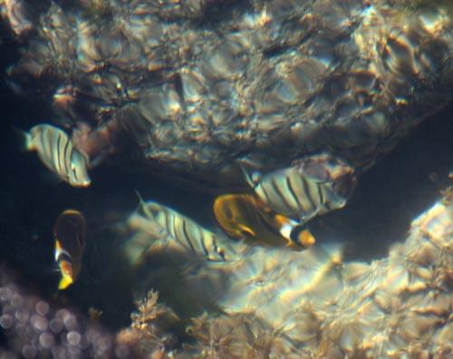 kaenapoint-butterflyfish-manini.jpg
