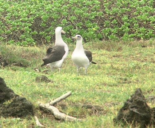 kaenapt-albatrosses.jpg