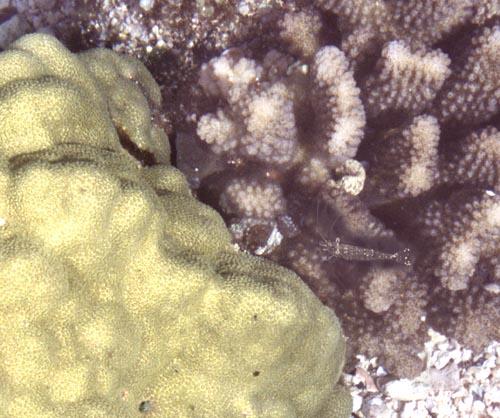 kaenapt-coral-opae.jpg