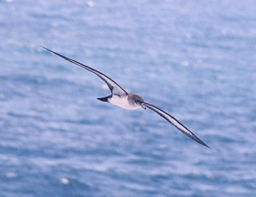 wedgetail-shearwater-flying.jpg