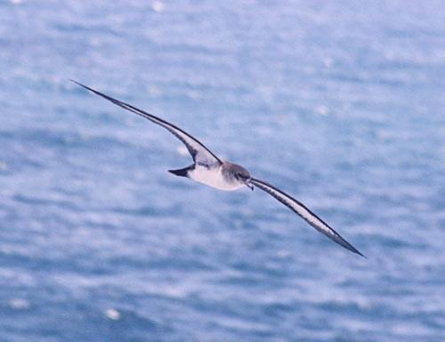 wedgetail-shearwater-flying.jpg
