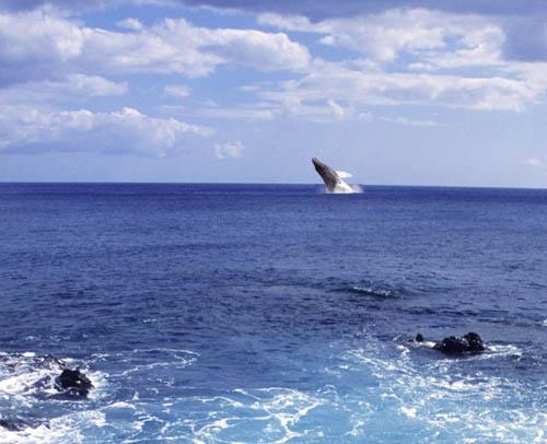 kaenapt-whale-breaching2.jpg