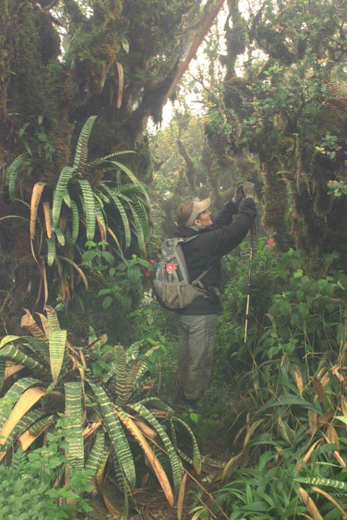 kahuauli-cloudforest-bromeliads.jpg