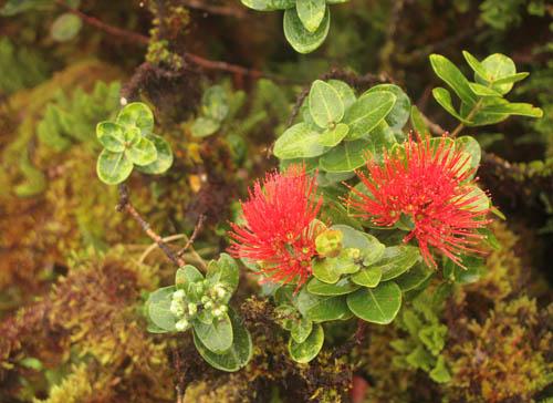 kahuauli-lehua-on-moss-covered-ohia-2.jpg