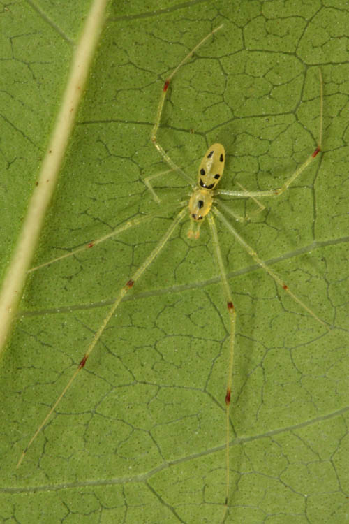 mokuelia-pahole-happy-face-spider-1.jpg