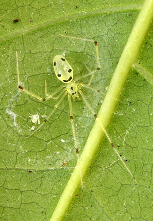 mokuleia-happy-face-spider-spiderling.jpg