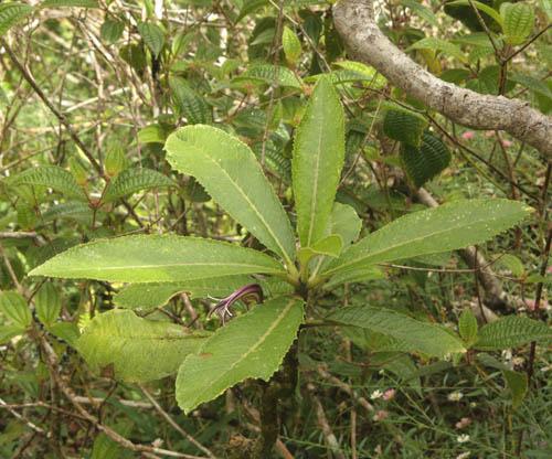 puuhapapa-cyanea-calycina-head.jpg