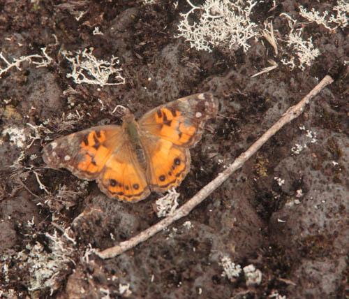 wailuku-kamehameha-butterfly.jpg