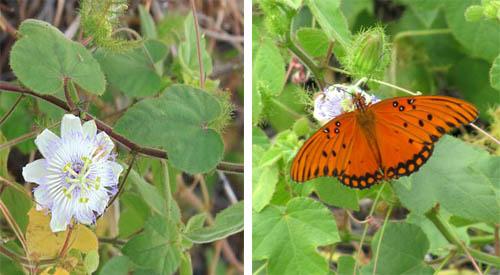 Keauhou-Lilikoi-Flower-&-Butterfly