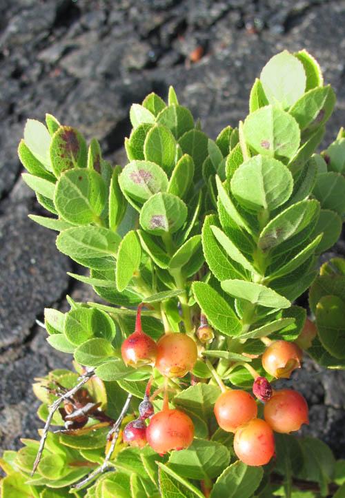 Keauhou-Trail-Ohelo-Berries-Sml