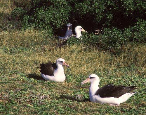 Kaena-Albatross-Nesting-Sml