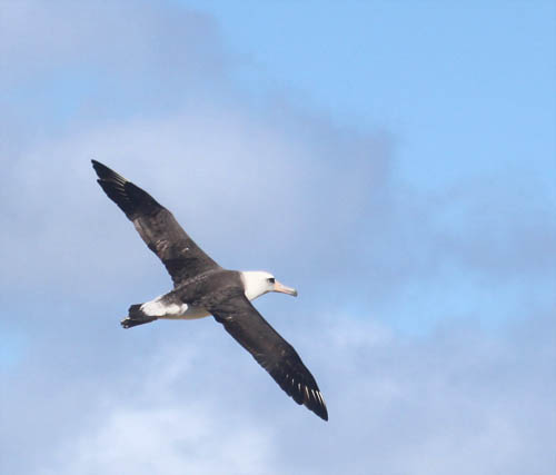 Kaena-Point-Albatross-Flying-Top-Side-Sml