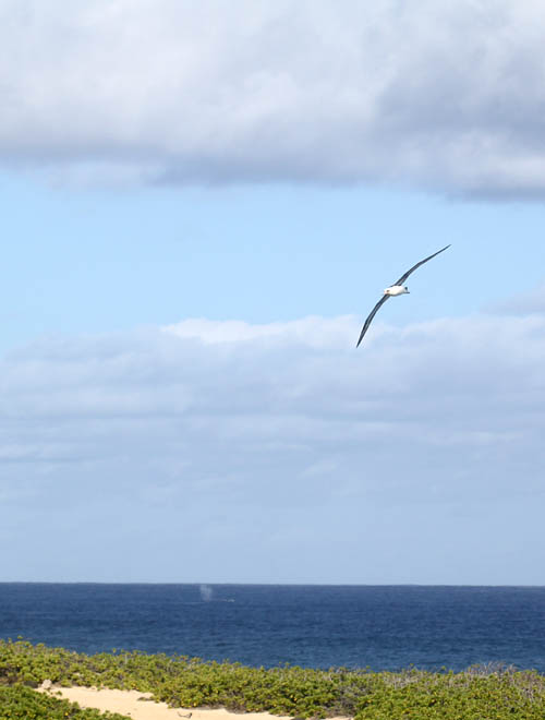 Kaena-Point-Albatross-Whale-Spout--Sml