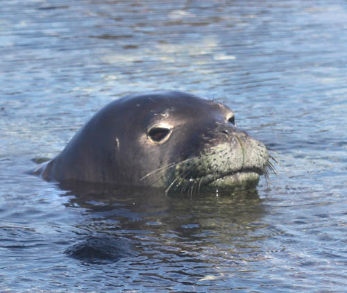 Kaena-Point-MonkSeal-Swimming-Close-Up-Sml