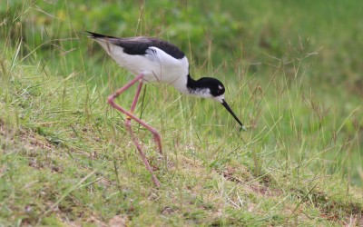 Hawaiian Stilt Breeding Season