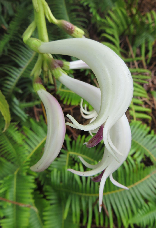 04-Cyanea-humboldtiana-Flowers-Close-1-1024