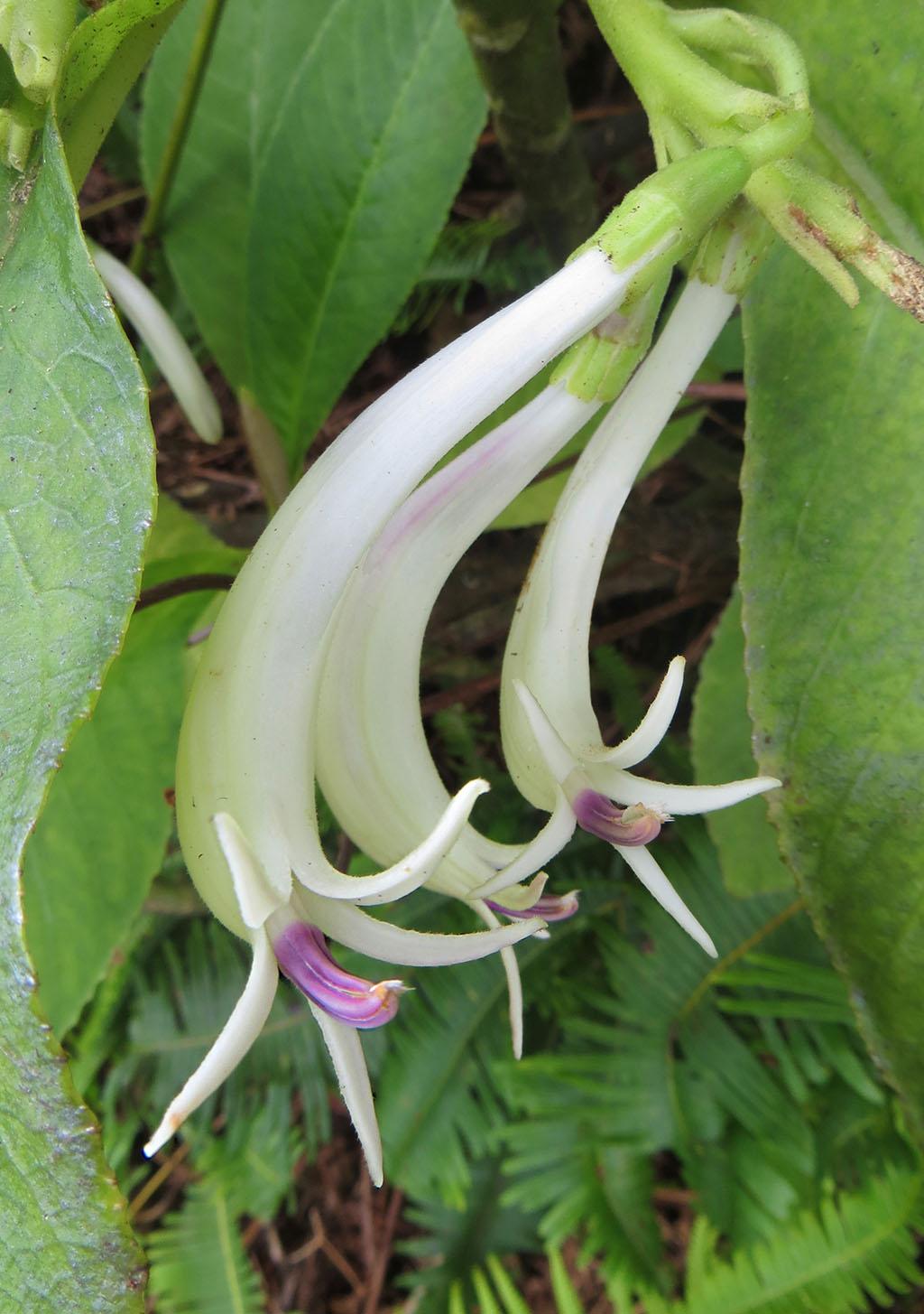 06-Cyanea-humboldtiana-Flowers-Close-2-1024