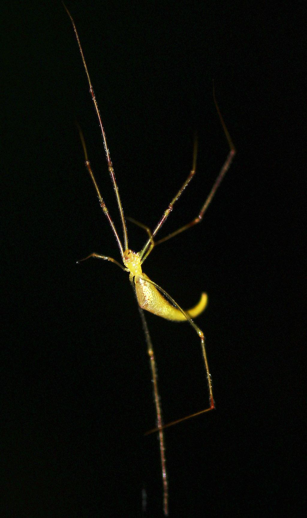 Ariamnes Spider