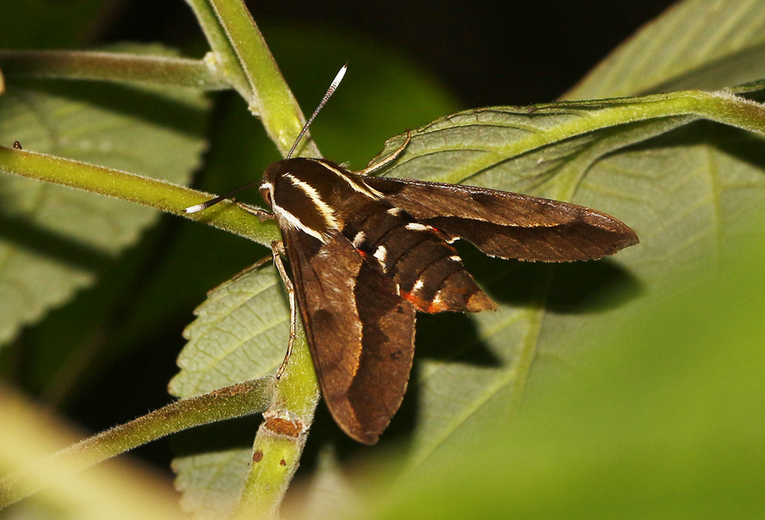 Sphingid Moth - 00 - 1092