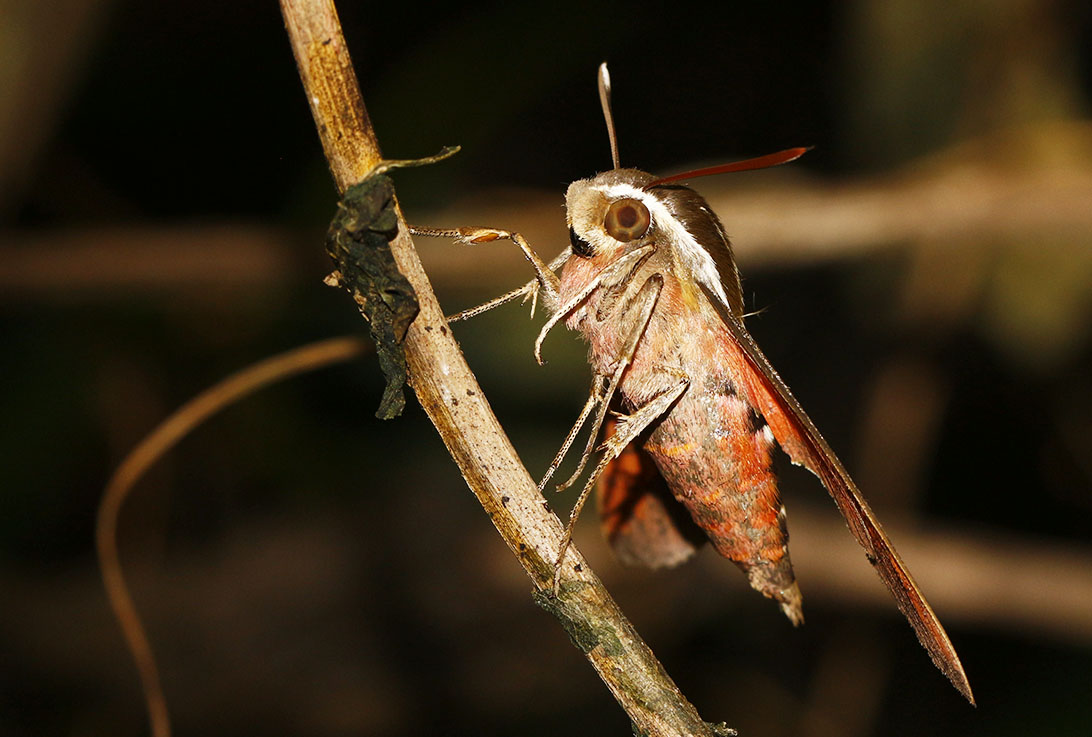Sphingid Moth - 02-1092