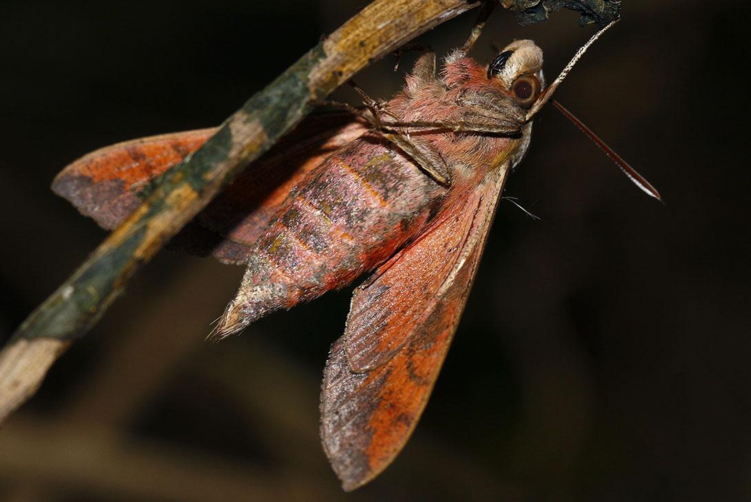 Sphingid Moth - 03 - Underside-1092