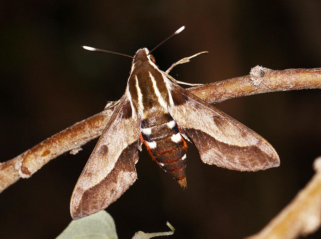 Sphingid Moth - 07 - 1092