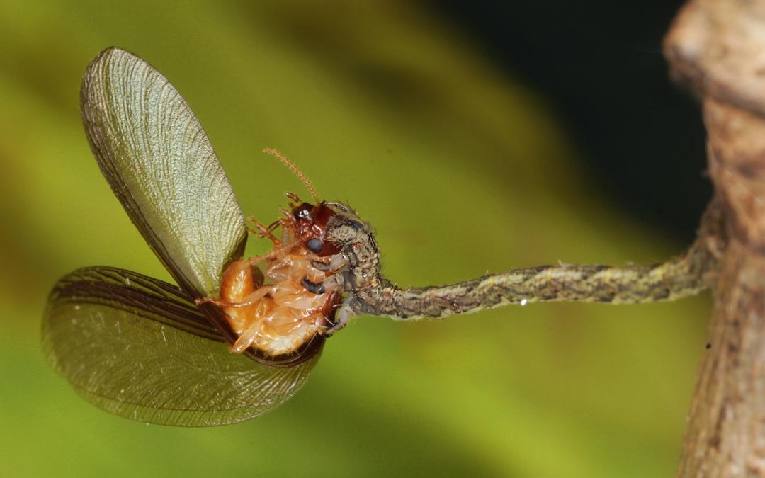 Hawaiian Carnivorous Caterpillar — Eupithecia