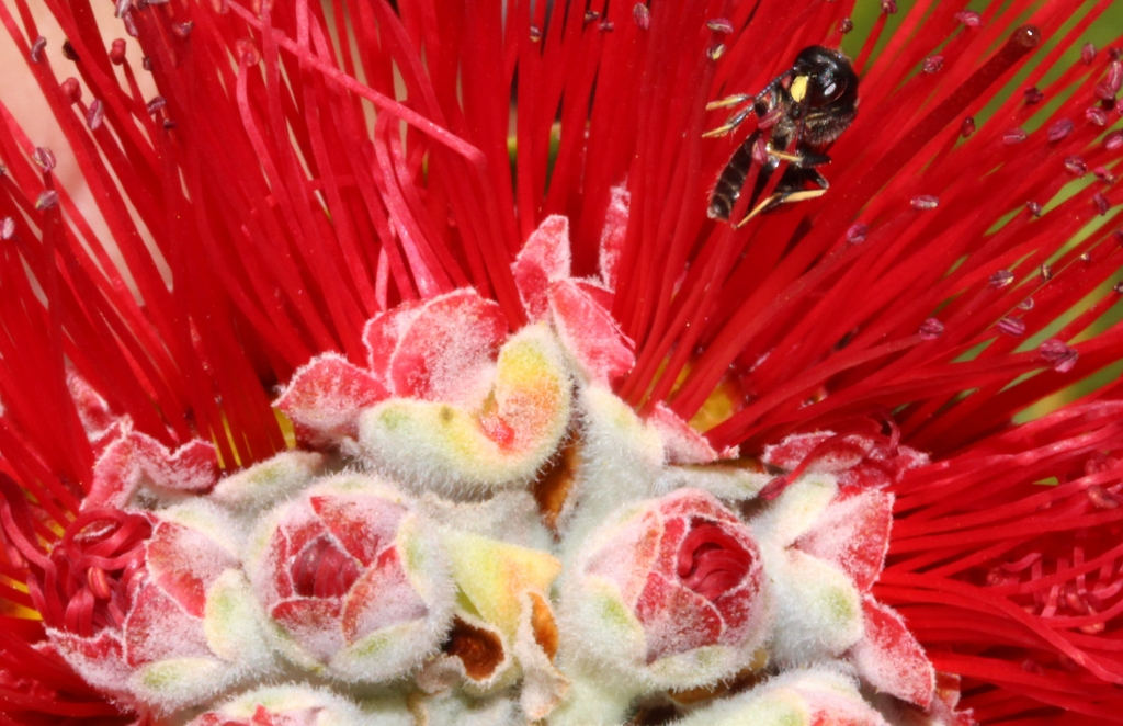 02-Red Lehua - w Yellow Face Bee - 01-Cropped-2500